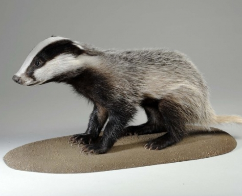 Badger on display in For All Seasons