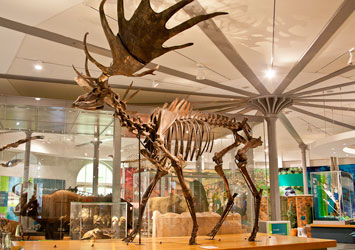 A skeleton of a giant irish elk on display in the Life on Earth Gallery at Leeds City Museum.